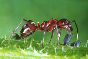 symbioses between ants and aphids