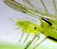 Aphid birth